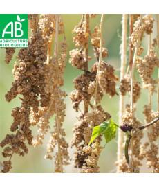 Graines quinoa à semer bio