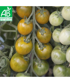 Graines bio de tomate green grape