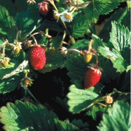 Graines de fraisier des 4 saisons