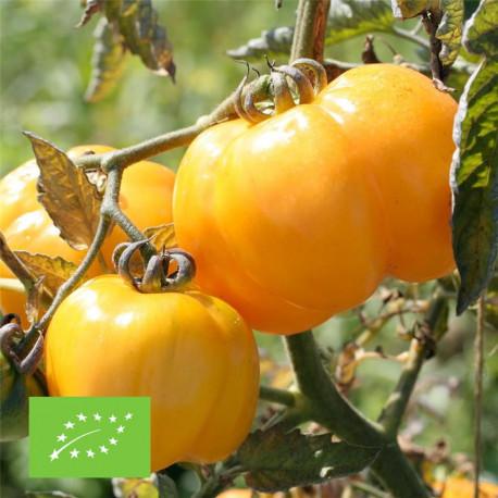 Tomate à farcir jaune bio