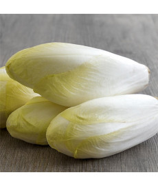 Endive Witloof  normale