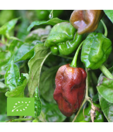 Piment Antillais ou Capri bio