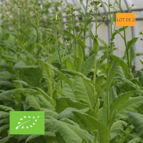 Tabac blond de Virginie graines bio - lot