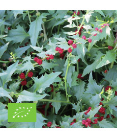 épinard fraise bio