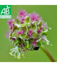 Fleur de petite pimprenelle