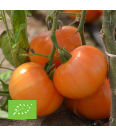 Tomate summer cider bio graines à semer
