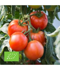 Tomate saint pierre bio graines à semer