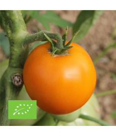 Tomate orange queen bio graines à semer