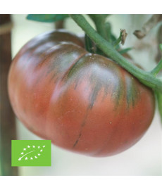 Tomate black from Tula bio graines à semer