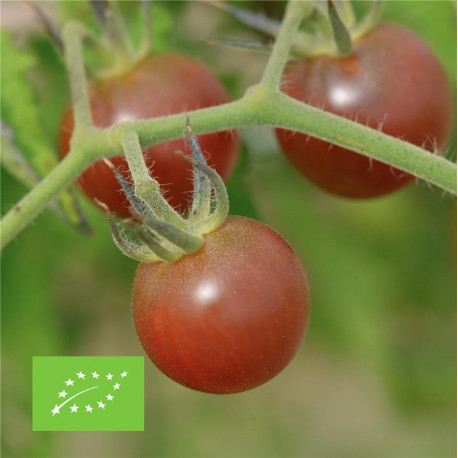 Tomate black cherry bio graines à semer
