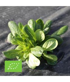 Mâche verte d'Etampes graines bio à semer