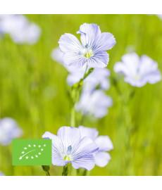 Graines de lin blanc bio à semer