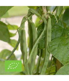Haricot à rames mangetout graines bio à semer