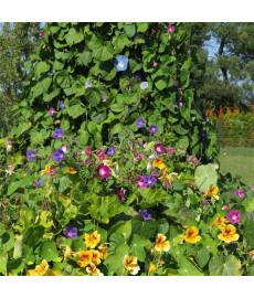 Fleurs grimpantes en mélange graines à semer