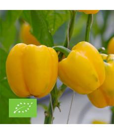 Graines à semer de poivron carré d'Asti jaune bio