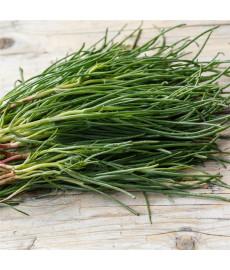 Salicorne japonaise graines à semer non traitées