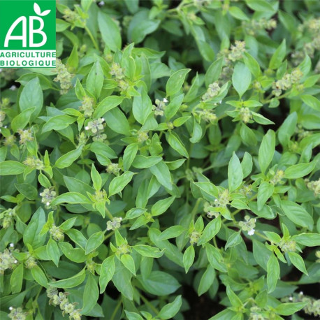 Basilic citron vert bio