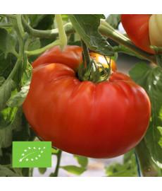 Graines bio de tomate Russe à semer