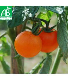 Tomate orange bourgoin -...