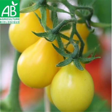 Tomate poire jaune bio