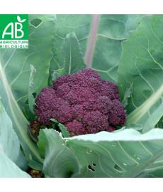 Chou brocoli violet bio