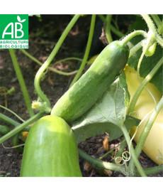 Concombre vert long maraîcher bio