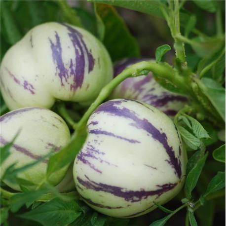 Poire-melon pepino