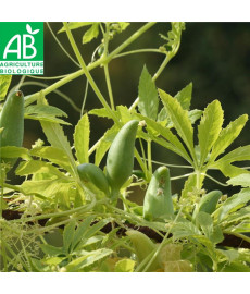 Cyclanthère caigua bio