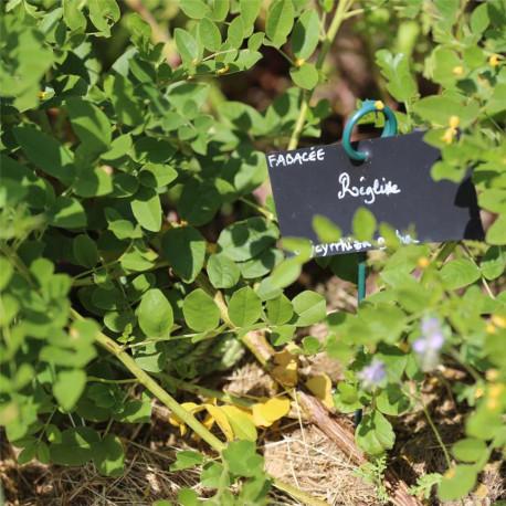Plants de réglisse bio