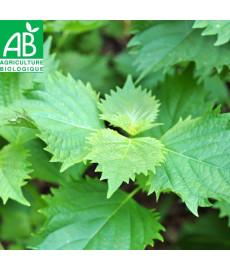 Shiso ou périlla vert bio (persil japonnais)