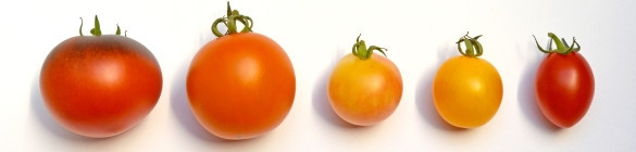 Graines bio de Tomates - Tomates bio anciennes, rares, originales
